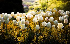 primavera, parco, piazza, aiuola, fiori, Bianco, Giallo, Tulipani, colore, sfocatura, sole, luce, bagliore