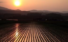 поле, рис, солнце