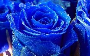 kwiaty, Roses, niebieski
