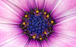 цветок, пыльца, фиолет