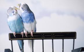 Parrots, wavy, Birds