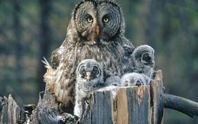 鸟类, 猫头鹰, 小鸡