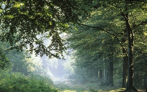 mattina, foresta, alberi, luce, verdura