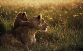 Lions, baby, young lion