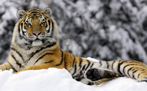tigre, inverno
