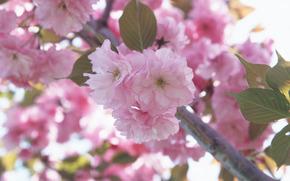 flor, rosa, Ptalas, cereja, sakura, macro, ramo, primavera, Flores, ternura