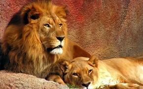 Lions, leone, leonessa, predatore, Bestia, coppia