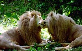 львы, кошки, белые