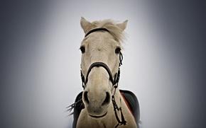 horse, horse, snout, harness, bridle, looks