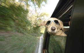 собака,  очки,  скорость