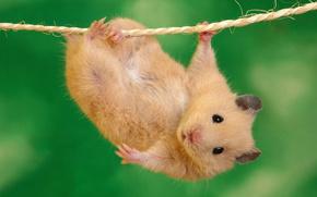 mouse, corda, corda