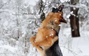 pastor, perro, nieve, juego, invierno