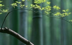 ramo, bambu, bordo, Japo