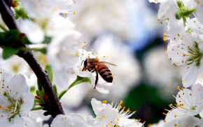 пчела, насекомое, ветка, вишня, белые, цветы, лепестки, цветение, весна, природа, красота