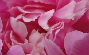 penia, rosa. ternura, Ptalas