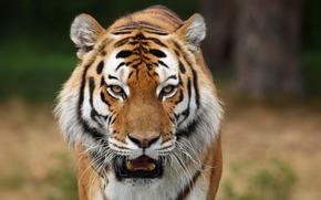 дикие кошки, сибирские тигры, хищники, фото животных, картинки с животными, обои для рабочего стола