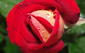 rosa, vermelho, bbuton, gotas