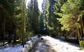 春, 雪, 道路, スプルース, 木, 森, 自然