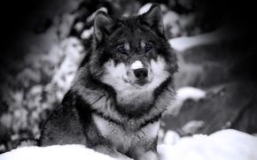loup, voir, b / w, Bte, prdateur, neige, hiver
