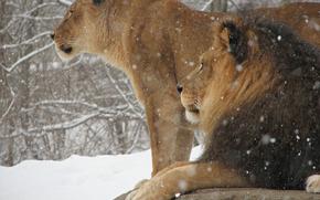leone, leonessa, animali, gatti, re di bestie, inverno, neve, carta da parati