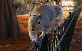 squirrel, fence, забор, autumn