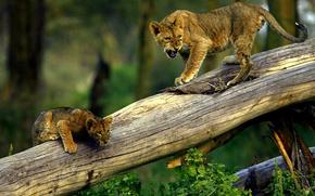 lioness, cub, tree