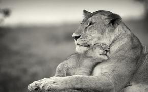 leonessa, giovane leone, donnola, amore, gatti, Lions
