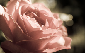 Fleurs, rose, bourgeon, Ptales, Macro