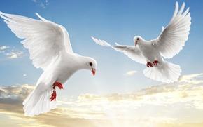 голуби, белые, парят, небо