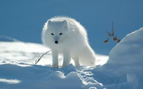 arctic fox, winter, animal