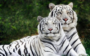 тигр,  два,  альбинос