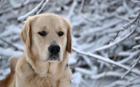 зима,  природа,  лес,  снег,  пес,  собака,  голова,  снежинки,  морда,  порода,  ретривер,  нос,  глаза