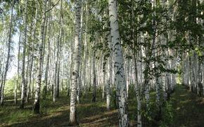 spring, Birch, landing, leaves