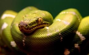 питон,  змея,  зеленый