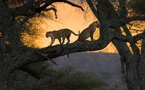 африка, кения, кошки, природа, дерево