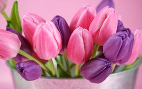 тюльпаны, цветы, бутоны, розовый, фиолетовый