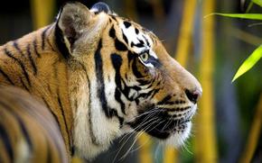animale, selvatico, gatto, tigre, predatore, testa, profilo, grugno, baffi, giungla, fogliame, bamb, pelliccia, colore, lana, Strisce