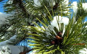 pine, snow, sky, winter