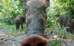 boar, пятак, щетина