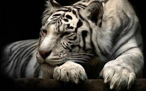 tiger, beautiful, animal