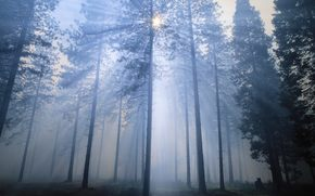 forest, morning, nature, wallpaper, Trees