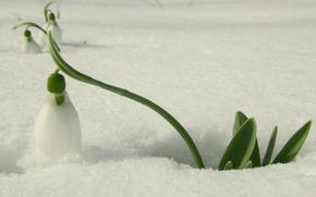snowdrop, white, primrose, flower, snow, light, spring, Flowers, macro