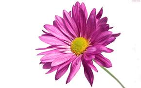 flor, crisantemo, Ptalos, planta