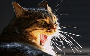 кот, зевает, глаза, усы, язык, свет