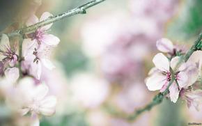 черешня, цветы, ветка, лепестки, весна, фото, обои