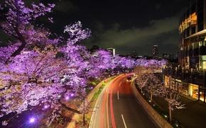 日本, 道路, 樱花, 开花, 灯火, 灯火