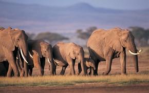 Elefant, Afrika, Herde