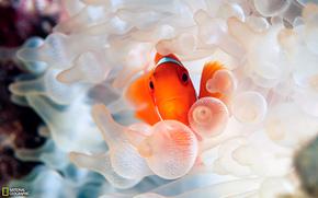 Clown Fish, Ozean, Underwater World