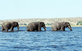 three, Elephant, water, trunks, tusks