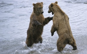 Bears, Couple, water, snow